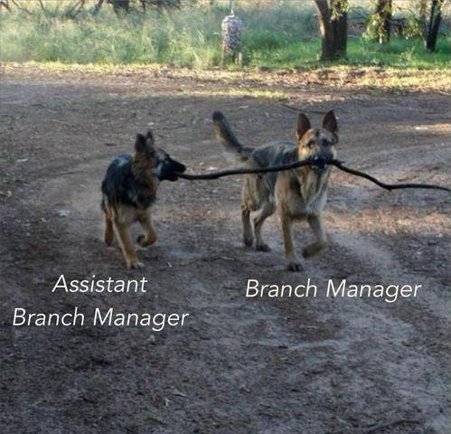 Two dogs sharing a stick, plus: Assistant Branch Manager and Branch Manager