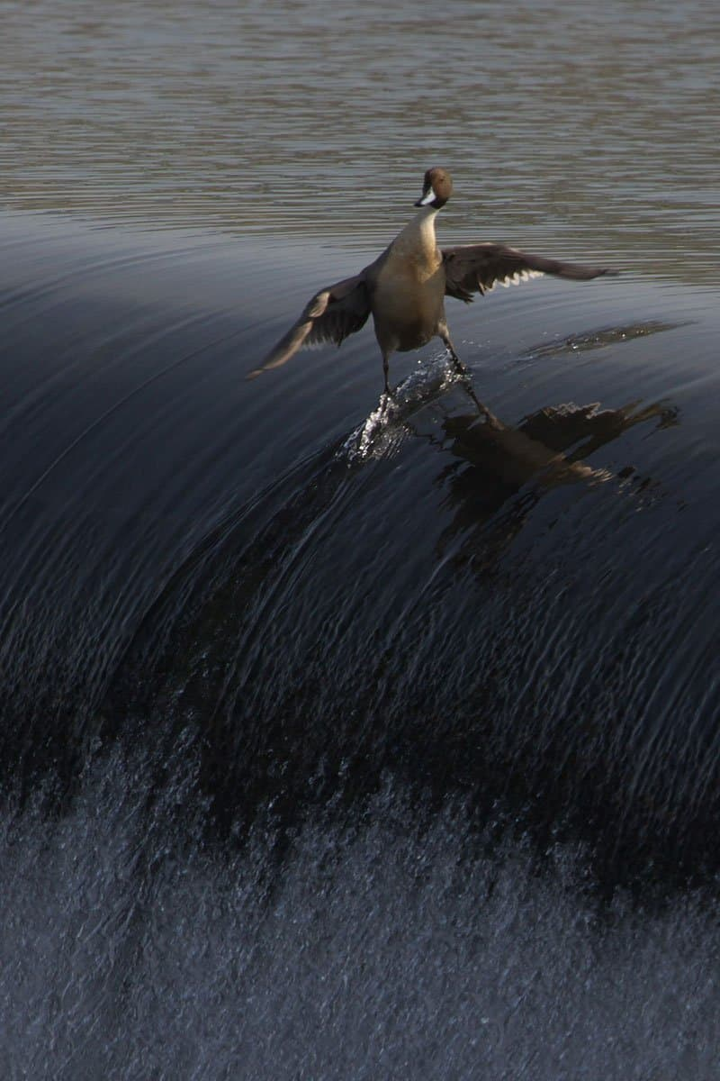 very cool duck