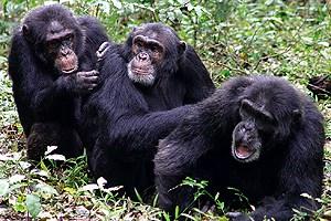 chimps gossiping at the hair salon
