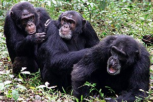 Gossip: Chimp Chat, Evolved (?)